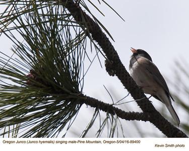 Oregon Junco M89400.jpg