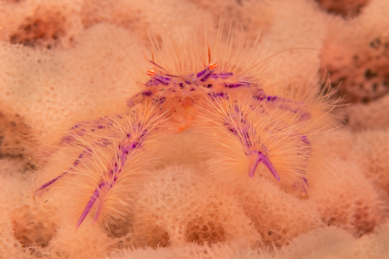 Hairy Squat Lobster, grows to 1.5 cm