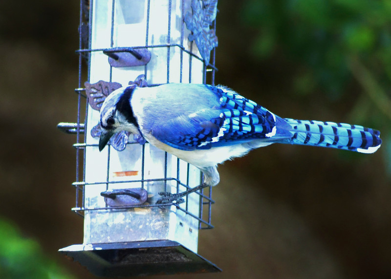 4_18_19 Blue Jay on a spring training break.jpg