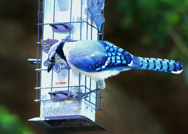 4_18_19 Blue Jay on a spring training break.jpg