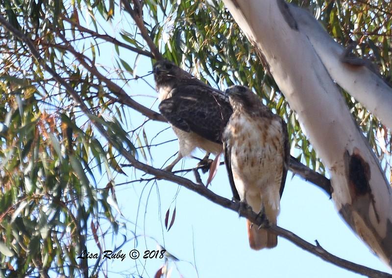 Pair of Red-tailed Hawks  - 6/1/2018 - Lake Hodge-Bernardo Bay Trail east side of W. Bernardo Drive