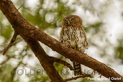 Pearl-spotted Owlet, Kenya