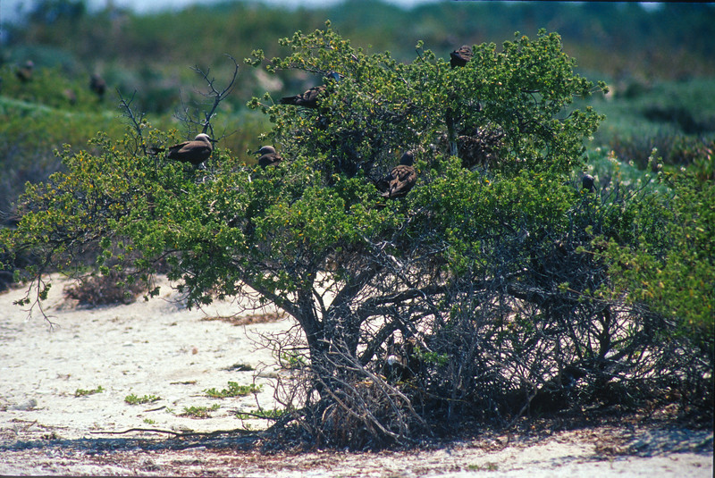 Brown Noddy nesting colony Dry Tortugas FL SLIDE SCAN BIRDS-57.jpg