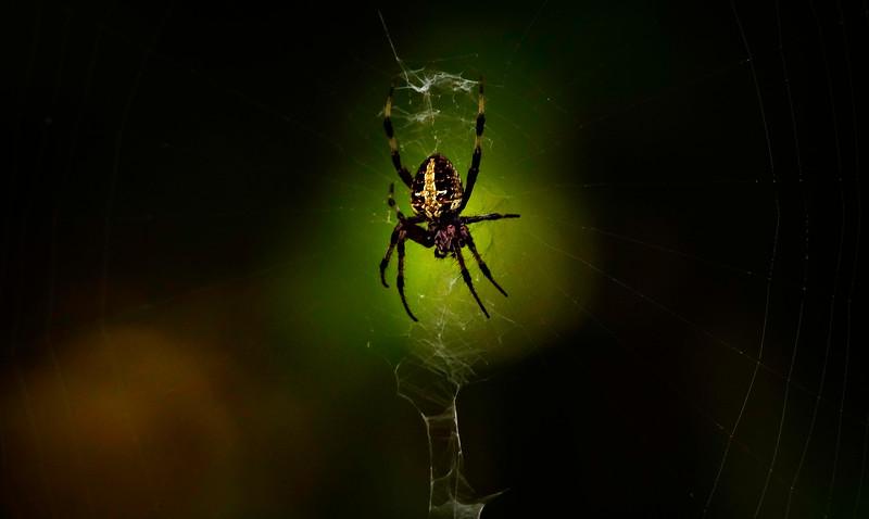 Spiders-Arachnids-139.jpg