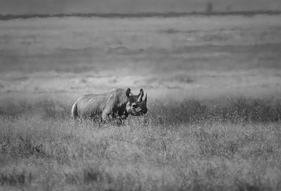Black Rhino of Tanzania