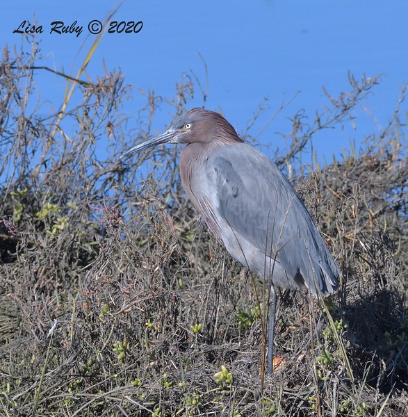 Reddish Egret  - 1/1/2020 - San Diego River and Mission Bay