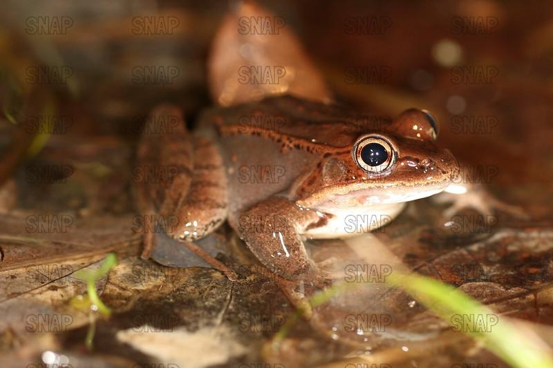 Wood Frogs (Rana sylvatica) close-up.