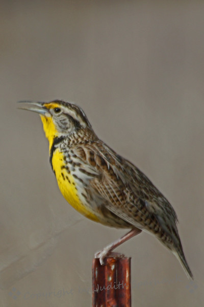 Singing Western Meadowlark ~ This meadowlark was singing beside the road at San Jacinto Wildlife Area in Southern California.