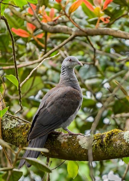 Nilgiri-Wood-Pigeon.jpg