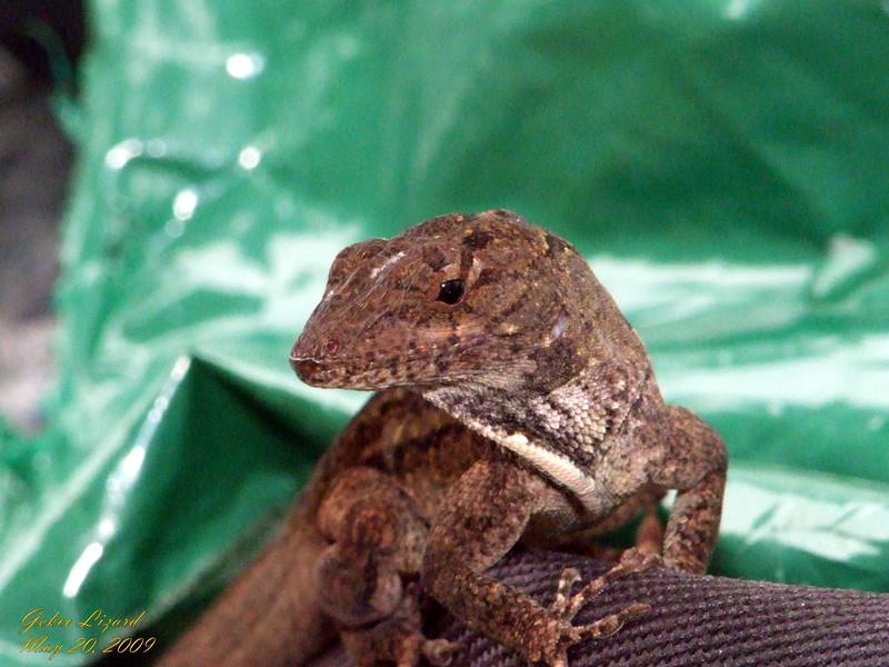 Gecko Lizard 052009.jpg