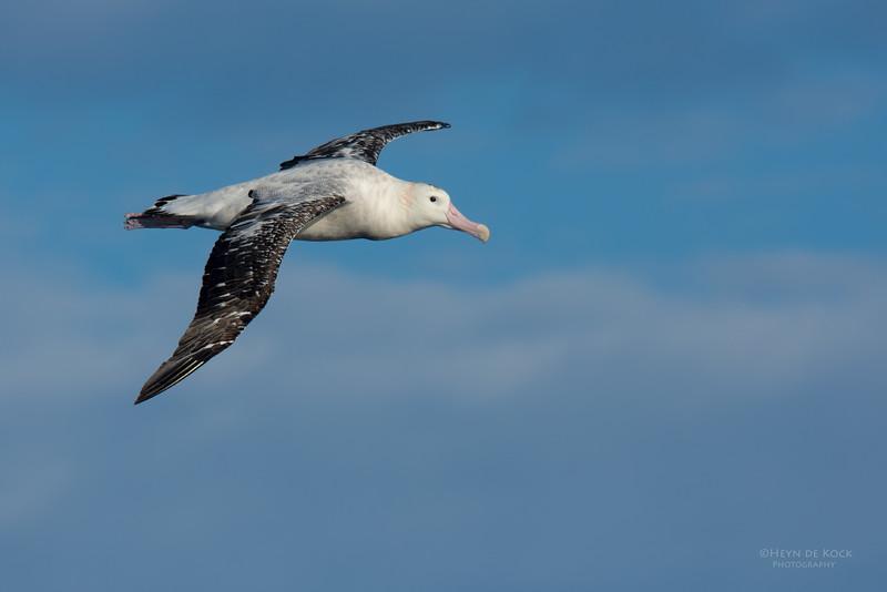 Antipodean Albatross, Eaglehawk Neck Pelagic, TAS, July 2015-1.jpg