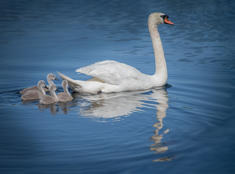DSC_3088-Edit Swan dad and his four Cygnets swimming.jpg
