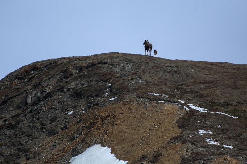 Moose on a Ridge