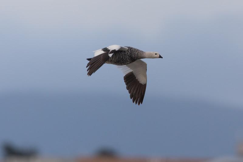 Upland Goose - Chile