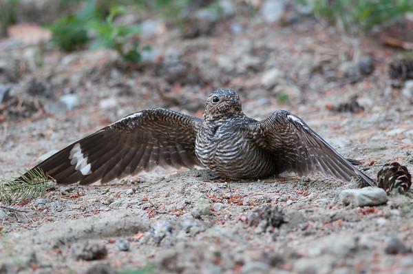 Nighthawks and Swifts