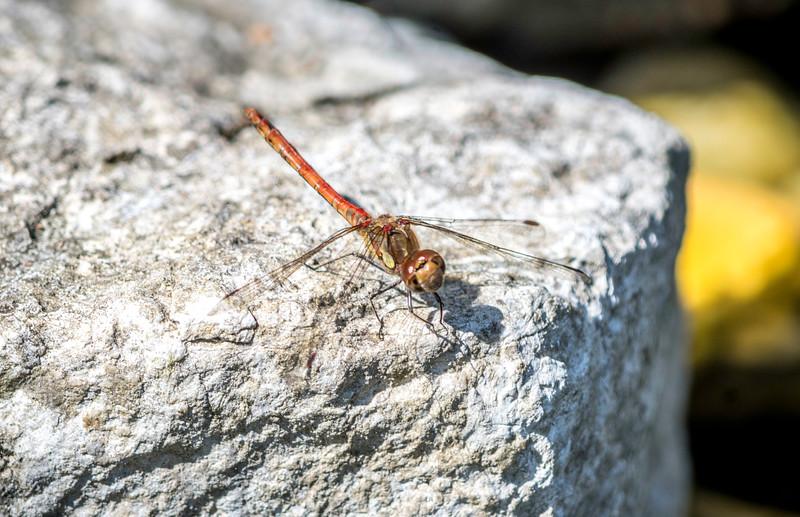 170818_Dragonfly_0055.jpg