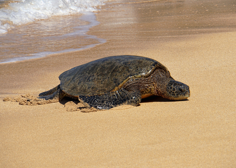 GREEN TURTLE - MAUI