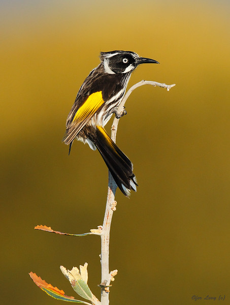 New-Holland Honey-eater 2.jpg