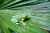 Tree frog sitting on a leaf covered with water droplets. Photography fine art photo prints print photos photograph photographs image images artwork.