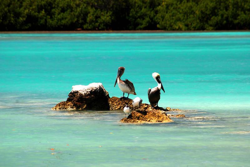 Key west  pelican.jpg