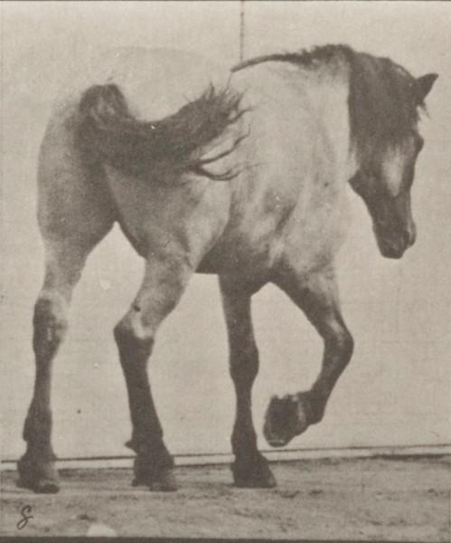 Horse Hansel walking, free