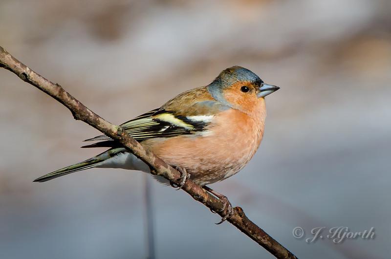Bogfinke - Common Chaffinch - (Fringilla coelebs)