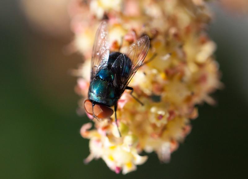 fly on mango blossom-5.jpg
