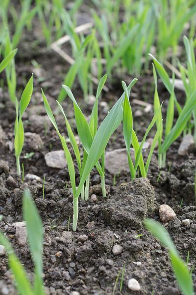 Spirer av høstbygg