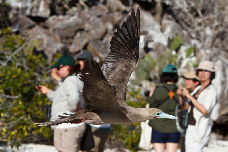 Red-footed Booby brown morph adult at Darwin Bay, Genovesa, Galapagos, Ecuador (11-25-2011) - 301.jpg