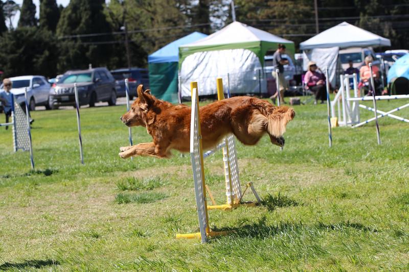 3-31-2018 Shetlant Sheepdog-4340.jpg
