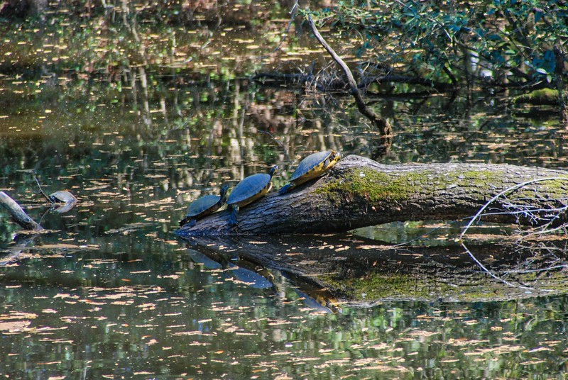 Turtles on log at Dorothy Oven Park