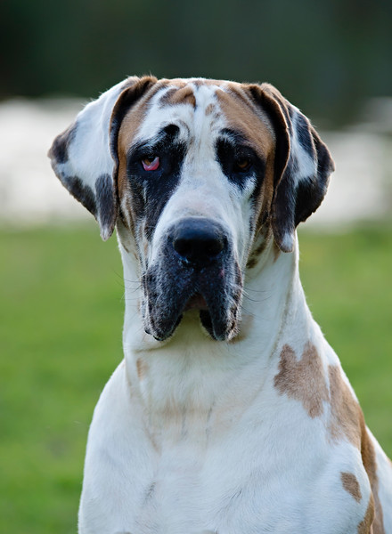 Jenkins Great Danes~Download