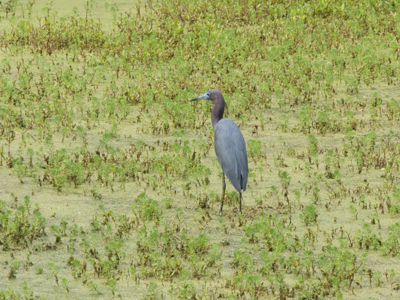 Little Blue Heron.Audubon Swamp Garden, Magnolia Plantation Gardens