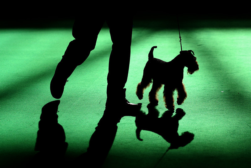 . A Airedale Terrier is shown in one of the judging rings on the second day of the Crufts dog show at the NEC on March 7, 2014 in Birmingham, England. Said to be the largest show of its kind in the world, the annual four-day event, features thousands of dogs, with competitors traveling from countries across the globe to take part. Crufts, which was first held in 1891 and sees thousands of dogs vie for the coveted title of \'Best in Show\'.  (Photo by Matt Cardy/Getty Images)