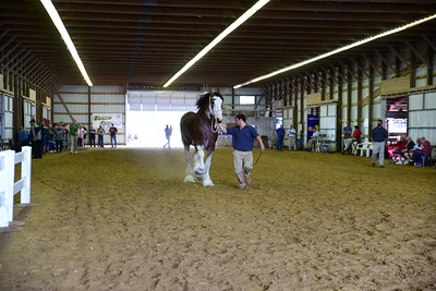 29 564 Clydesdale Brood Mare 4+