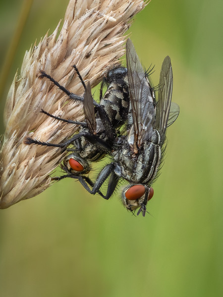 mating flies waterperry-Edit-Edit.jpg