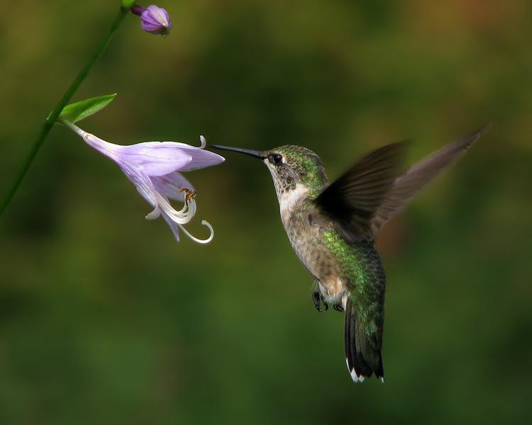 hummingbird_1268.jpg