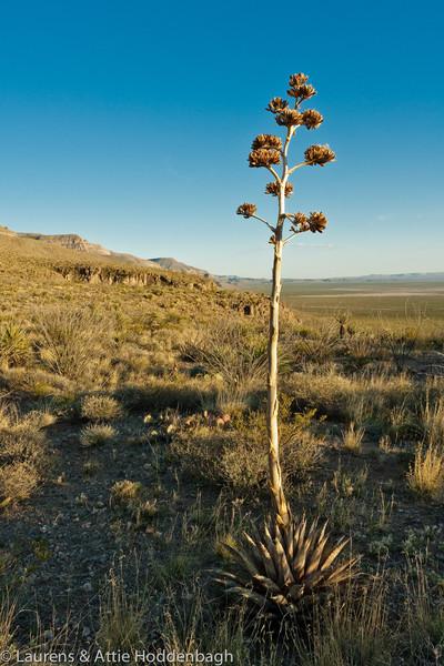Yucca in Oliver Lee Mem. SP