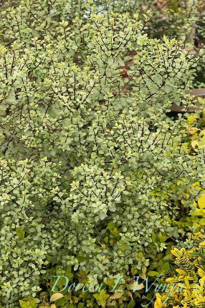Pittosporum tenuifolium 'Oliver Twist'_9470.jpg