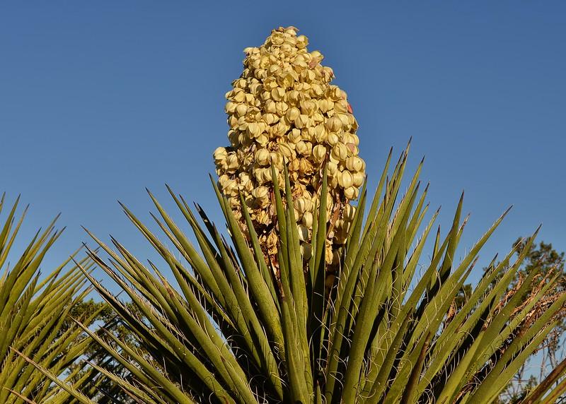 NEA_5479-7x5-Yucca.jpg