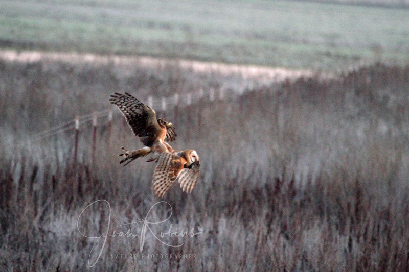 Harrier trying to land on Barn Owl?