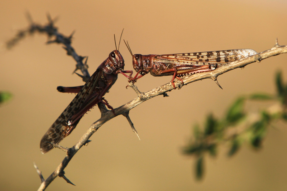. Locusts rest on a branch near Kmehin in Israel\'s Negev desert March 5, 2013. The Israeli Ministry of Agriculture and Rural Development said on Tuesday that the location of the locust swarms which crossed into Israel from neighbouring Egypt had been mapped and and will be fumigated tomorrow. REUTERS/Amir Cohen