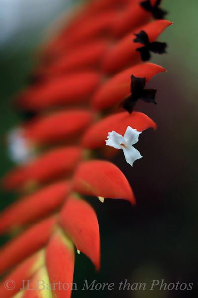 Orchid Blossom Tillandsia dyeriana