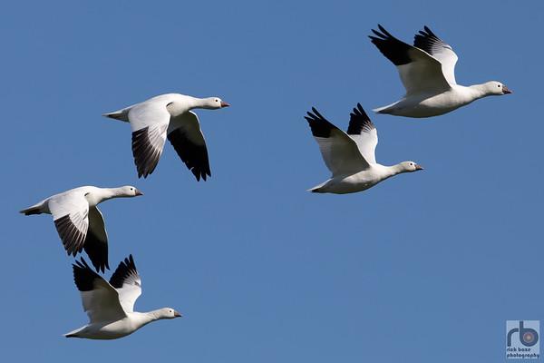 Snow Geese at Hagerman Wildlife Refuge