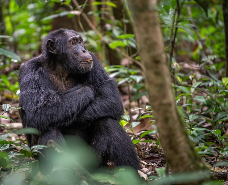 Uganda_T_Chimps-49.jpg