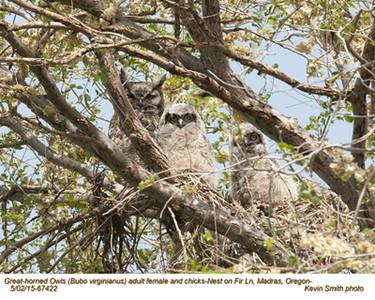 Great Horned Owls F&N67422 .jpg