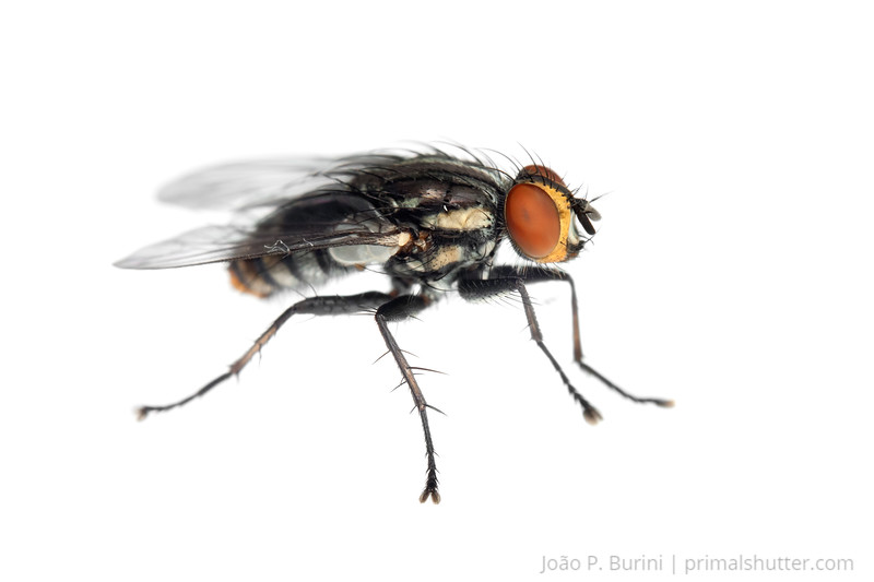 Flesh fly (Sarcophagidae) Sorocaba, São Paulo, Brazil Urban August 2012