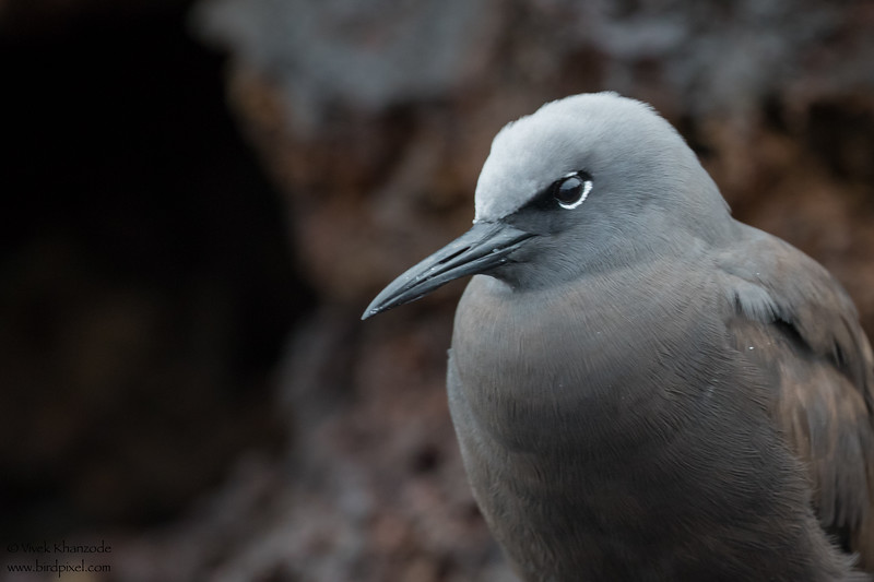 Brown Noddy - Galapagos, Ecuador
