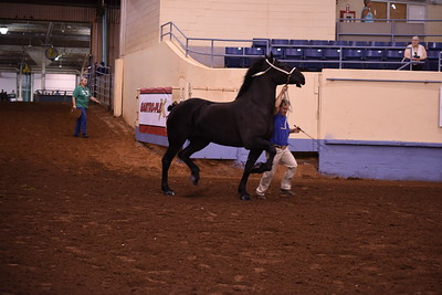 8 Draft horse Mares