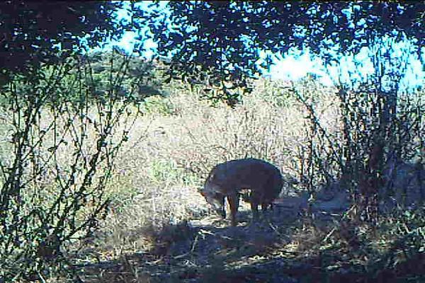 Coyote 658.AVI